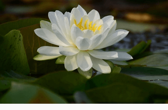 White American Water Lily