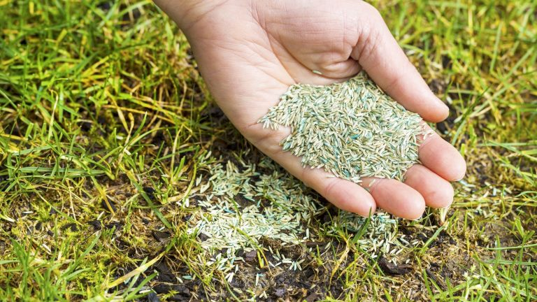 Will Grass Seed Grow if Not Covered by Soil or Mulch?