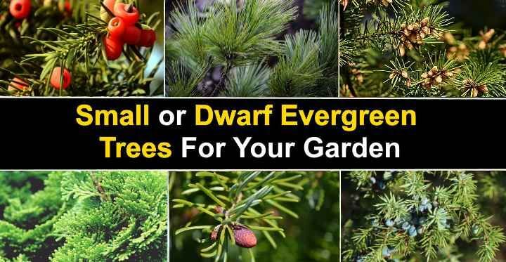 15 Small or Dwarf Evergreen Trees for Your Garden (With Pictures)