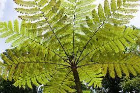 Australian Tree Fern (Sphaeropteris Cooperi)