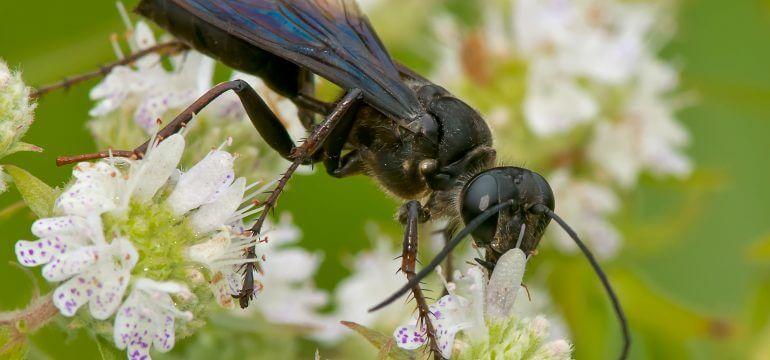 Black Wasp Nests