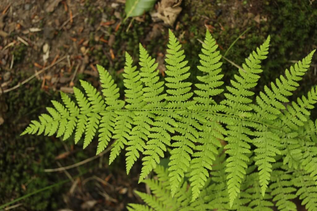 Eagle Fern (Pteridium Aquilinum)