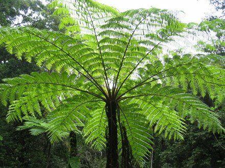 Lacy Tree Fern (Cyathea Cooperi)