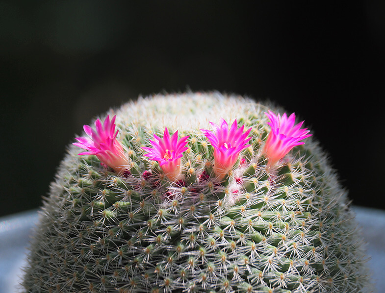 Old Lady Cactus