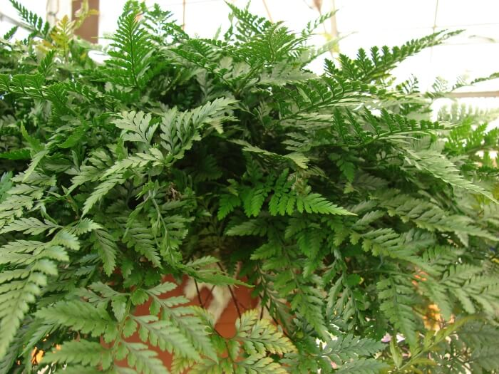 Rabbit's Foot Fern (Davallia Fejeensis)