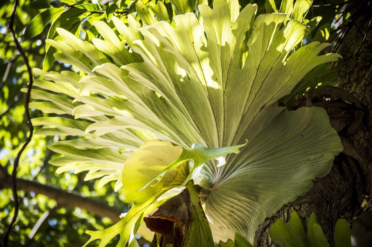 Staghorn Fern (Platycerium Spp.)