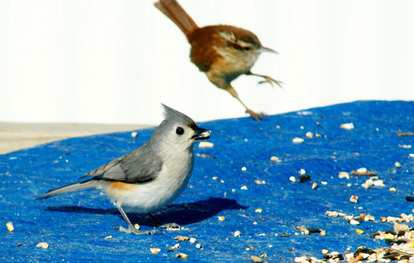 Titmice and Wrens