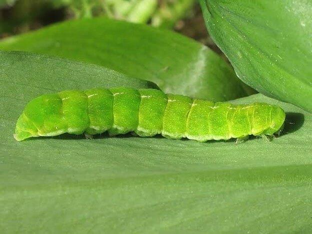 Angle Shades Moth Caterpillar