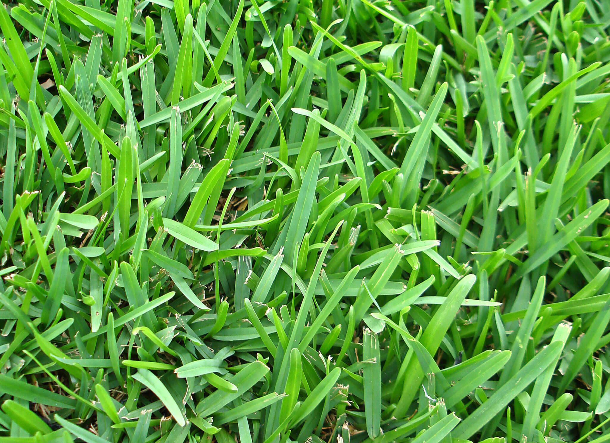 Augustine Grass
