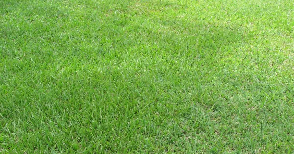 Bahia Grass