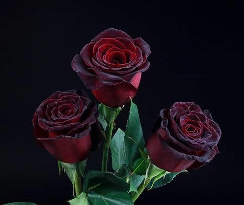 'Black Baccara' Rose
