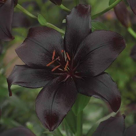 'Black Charm' Asiatic Lily