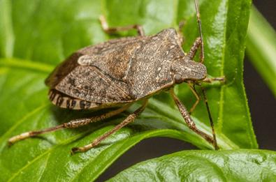 Black Stink Beetle