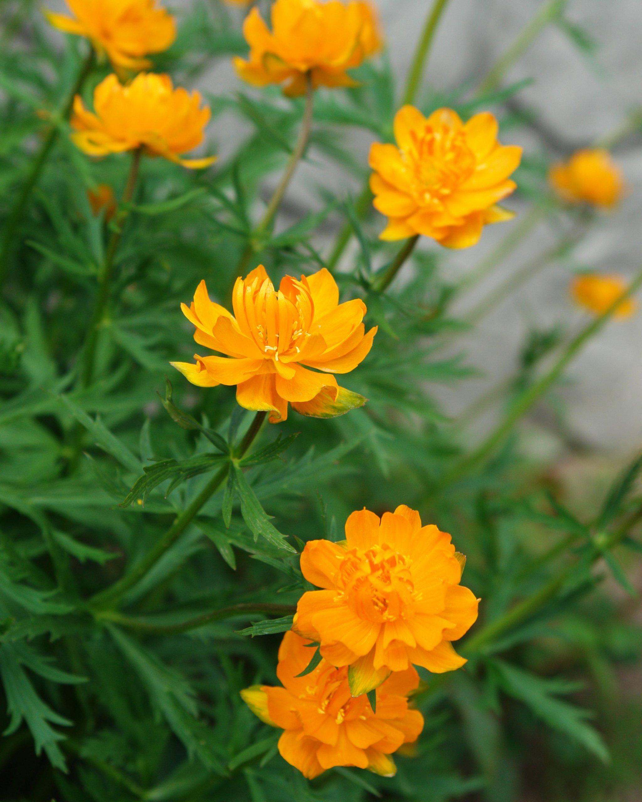 Blooming Globeflower