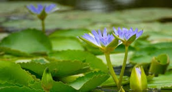 Bluewater lily