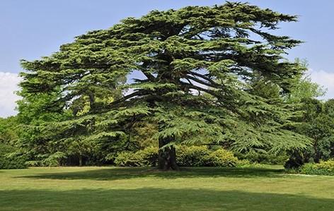 Cedar of Lebanon
