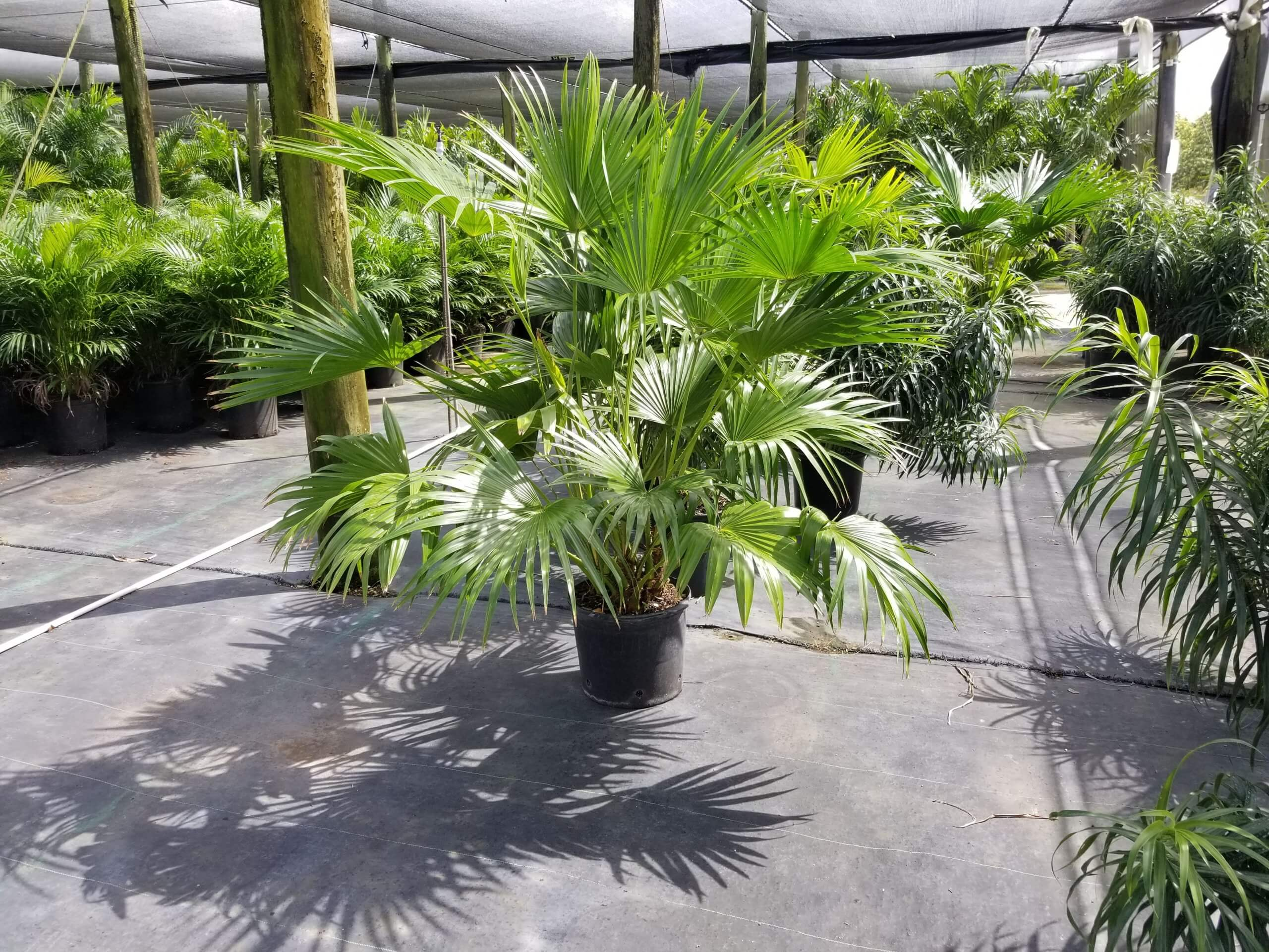 Chinese Fan Palm Trees
