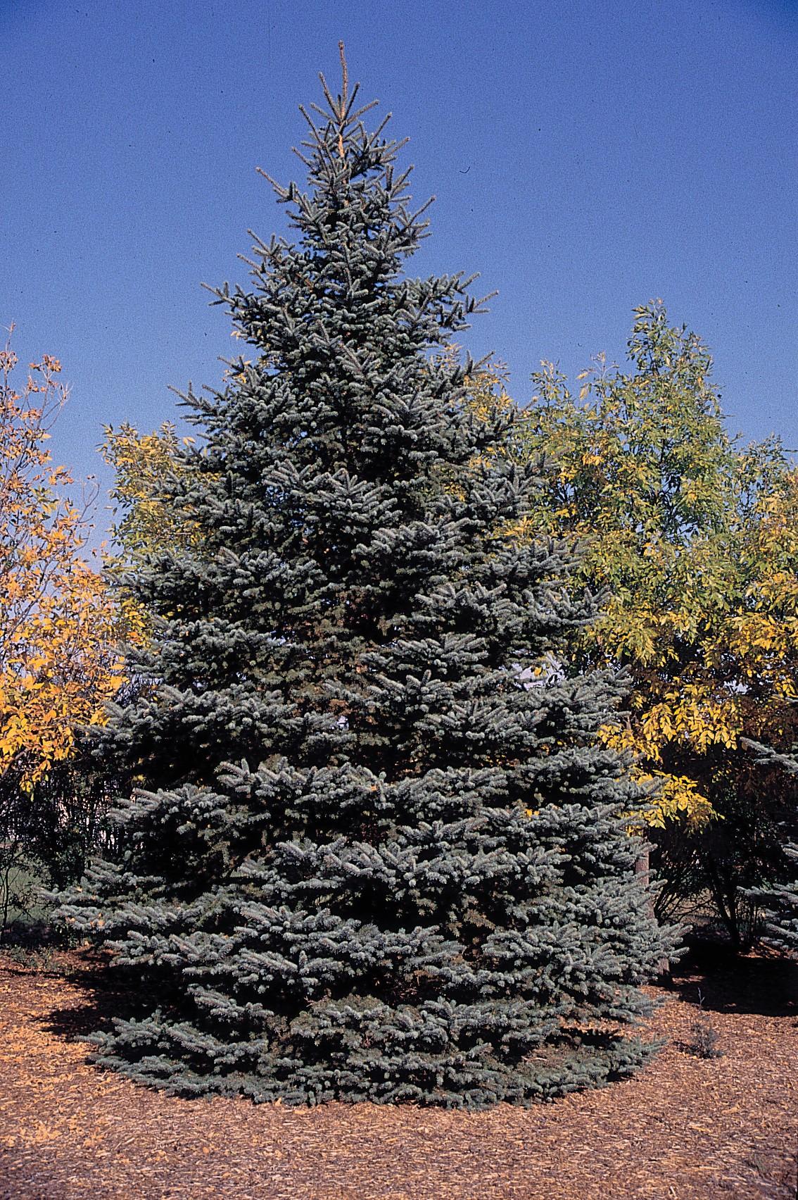 Colaoraado Blue Spruce