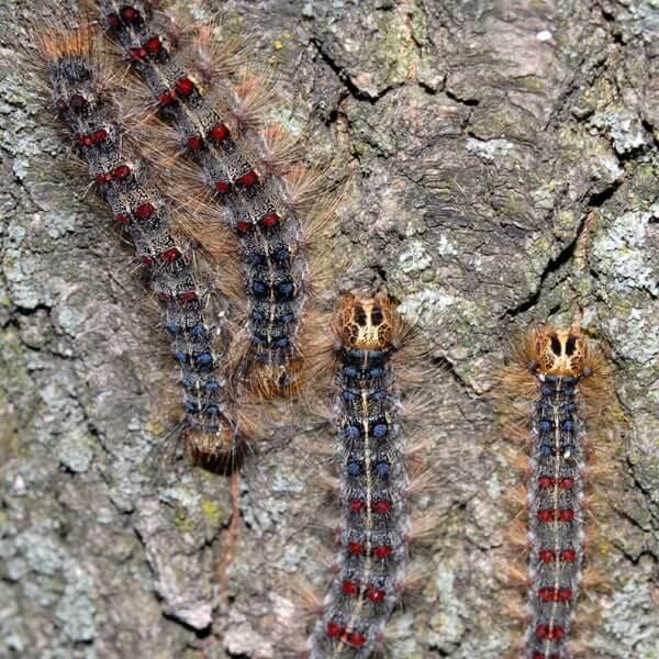 European Gypsy Caterpillar