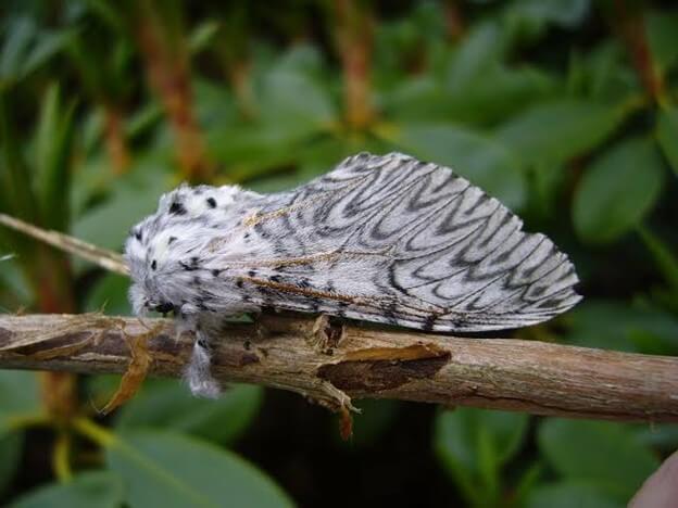 European Puss Moth Caterpillar