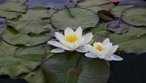 Fragrant Water Lily Flower