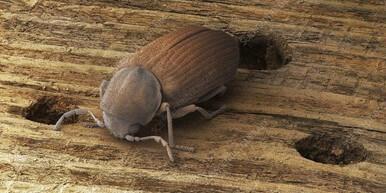 Furniture Beetle