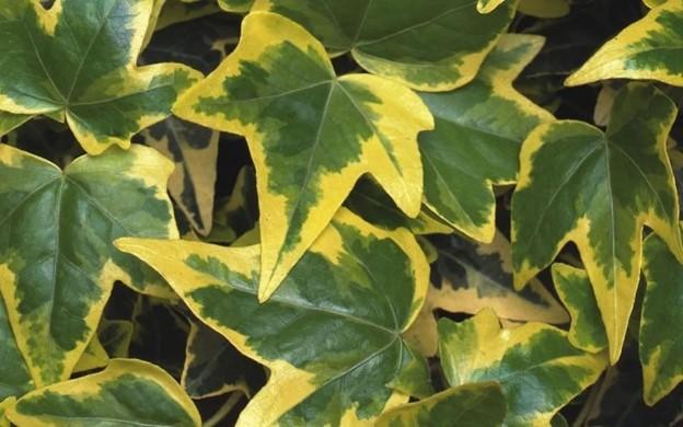 Gold child ivy (variety of English ivy)