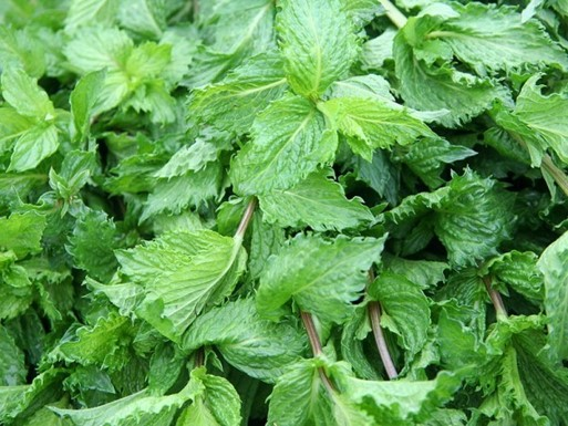 Grow Peppermint, A Bee Repellent Around Your Porch