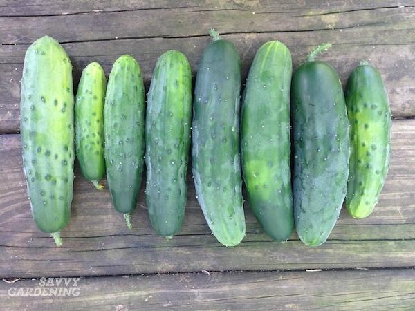 Growing Armenian Cucumbers – Complete Guide