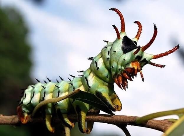 Hickory Horned Devil Moth Caterpillar