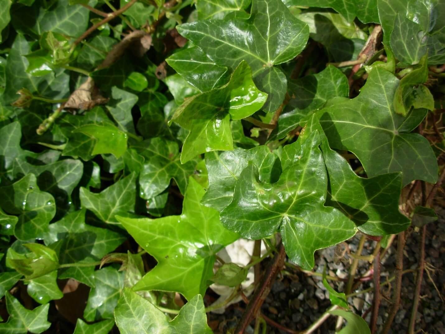 Himalayan Ivy
