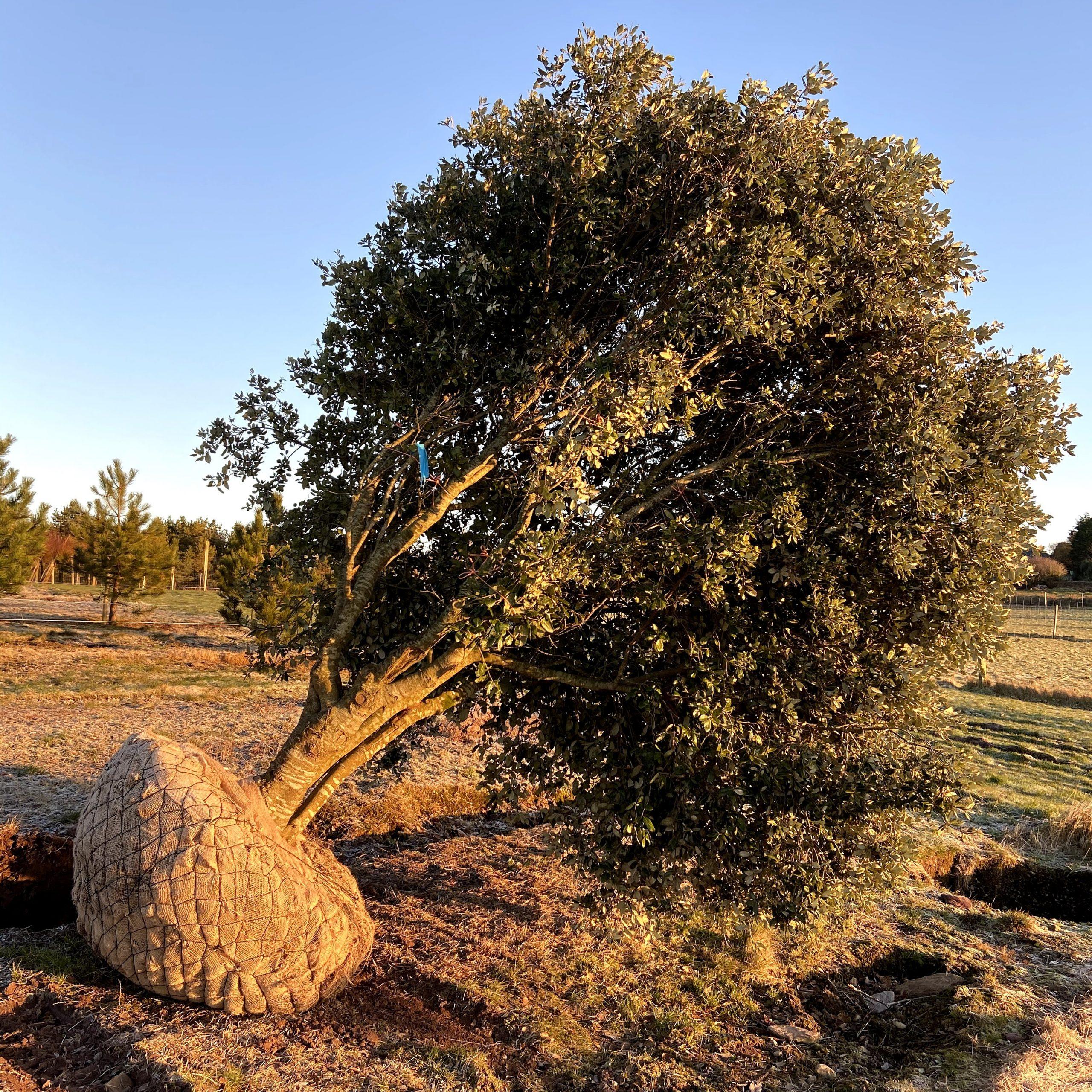 Holm Oak Tree