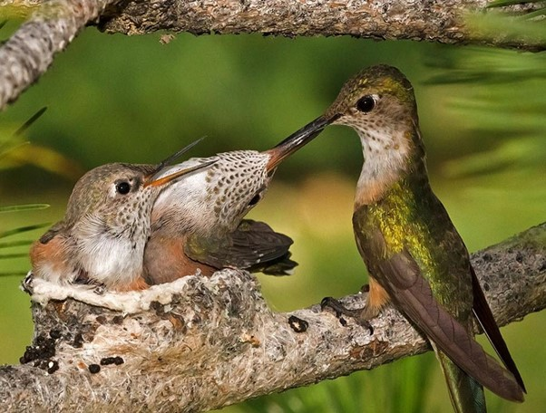 How a Mother Hummingbird Cares for Her Babies
