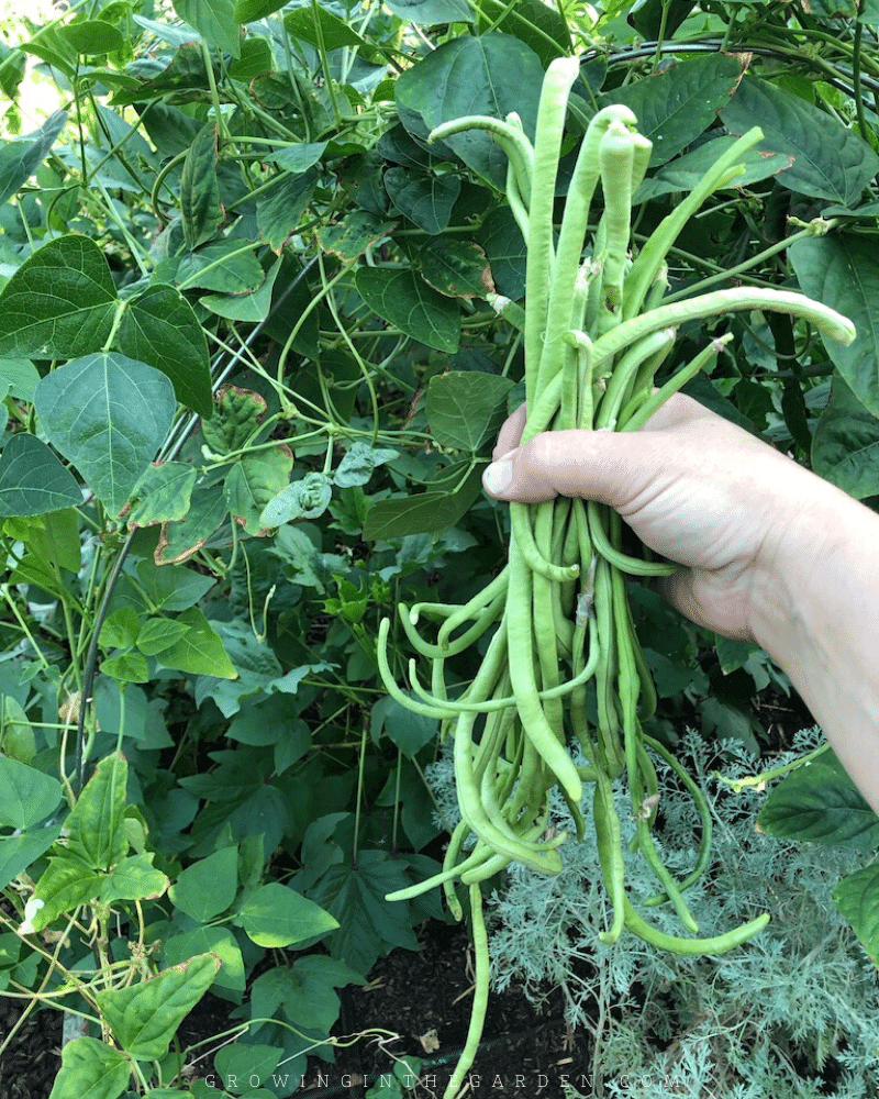 How to Grow Asparagus Beans in Your Garden