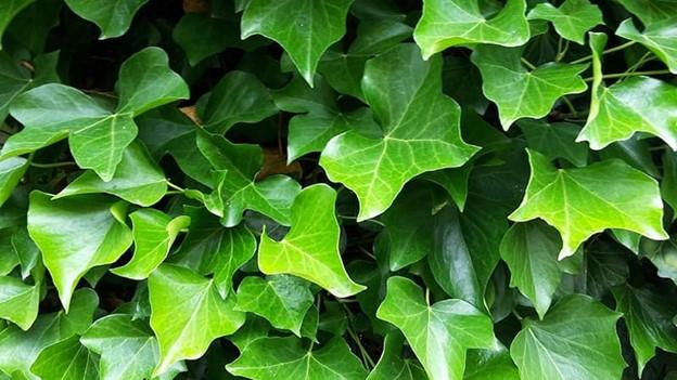 Irish Ivy Plant