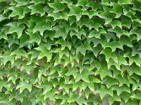 Japanese Ivy Vine