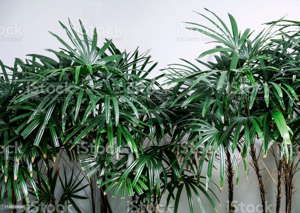 Tropical leaves background of Rhapis excelsa or Lady palm tree in the garden