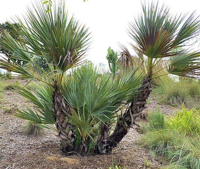 Mazari Palm Tree