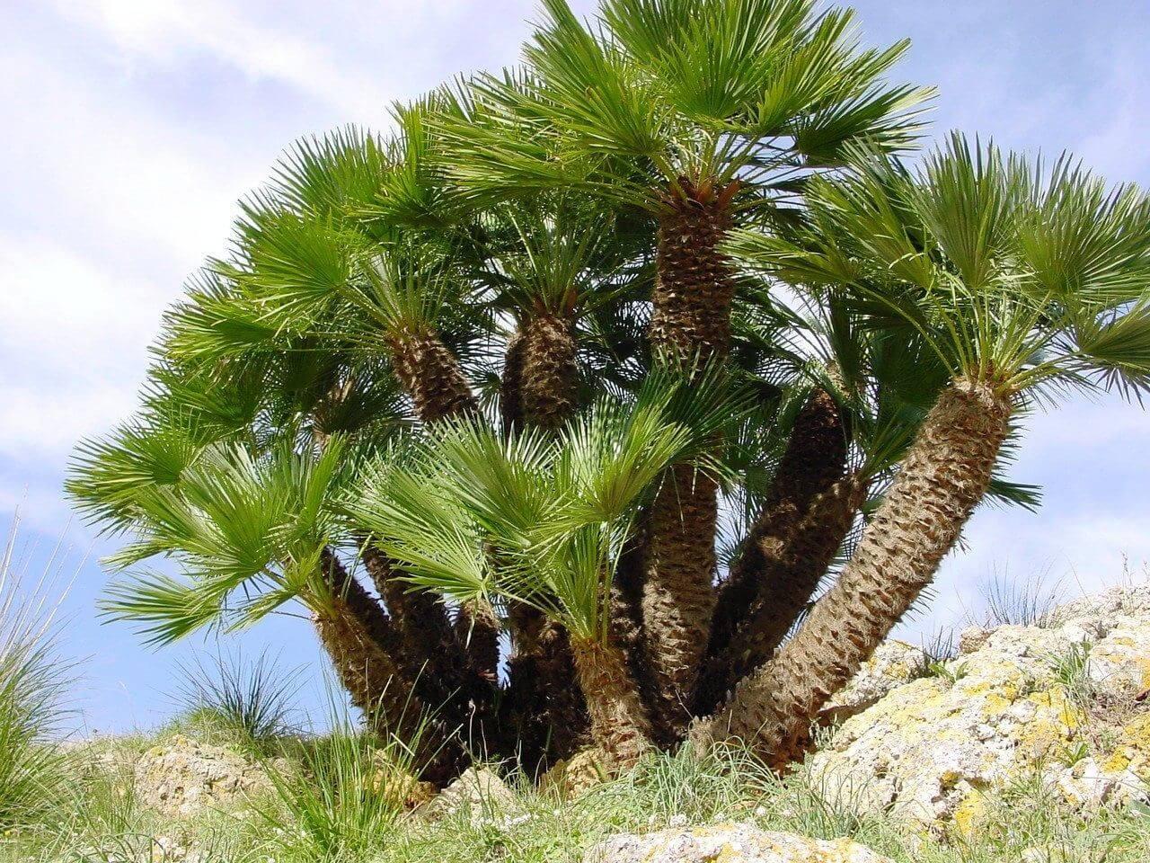 Mediterranean Dwarf Palm Tree