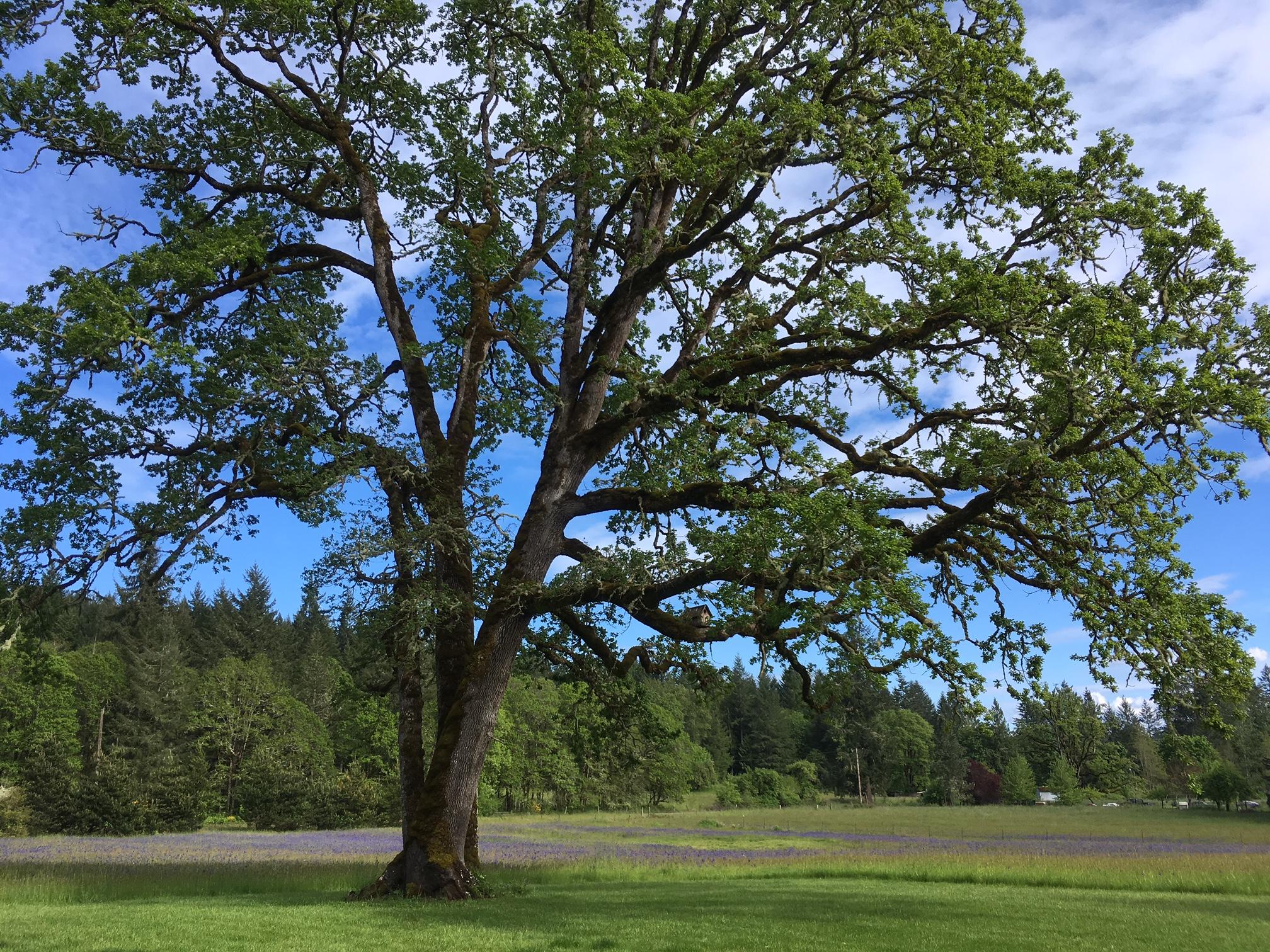 Oregon White Oak Trees