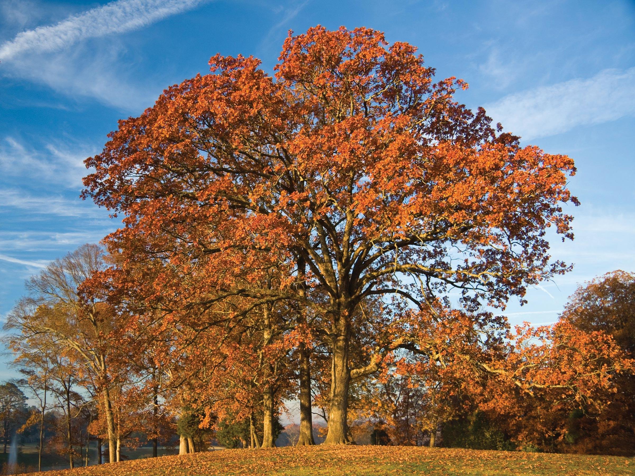 Post Oak Trees