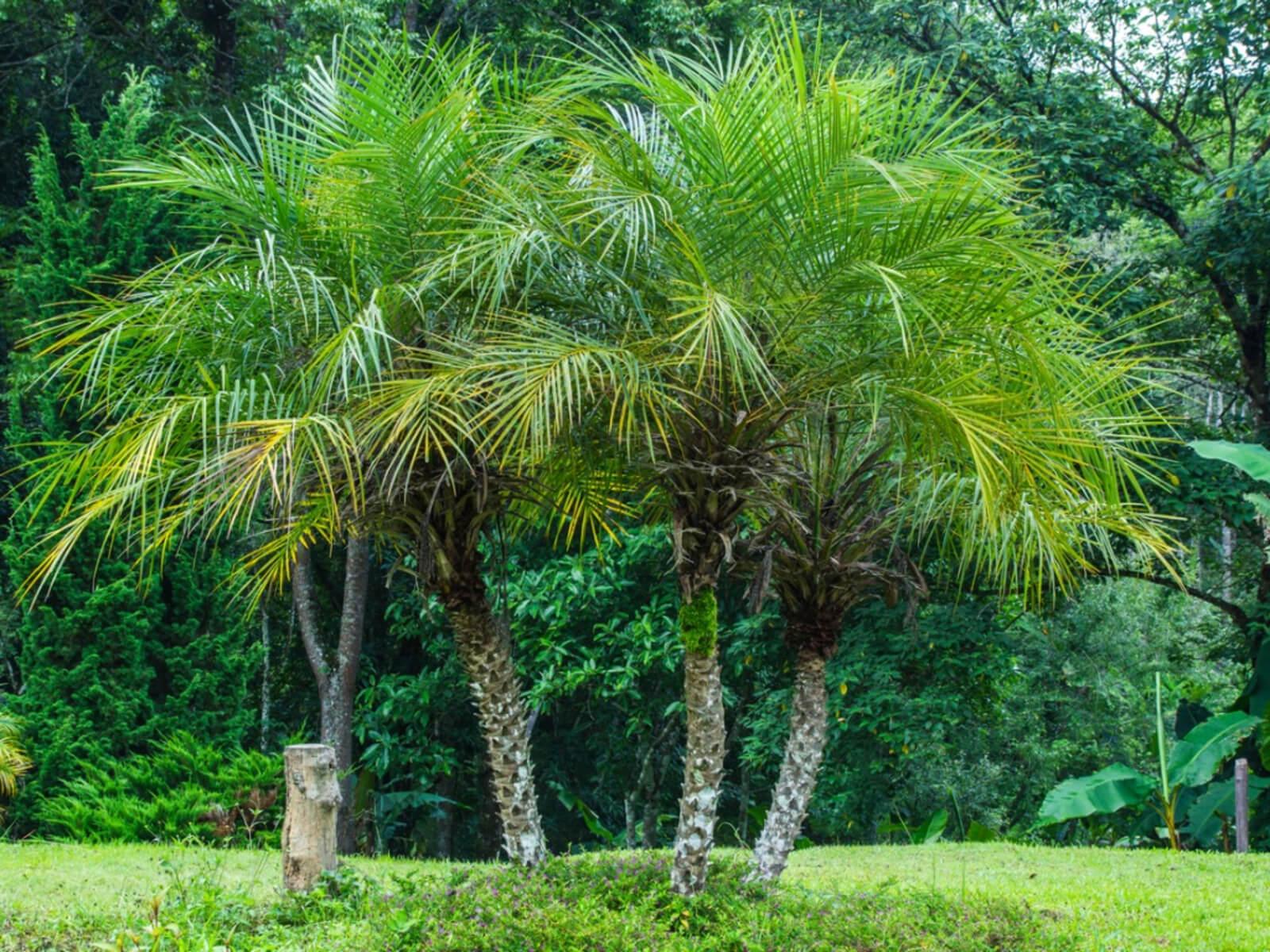 Pygmy Palm Tree