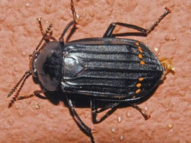Red-Lined Carrion Beetle
