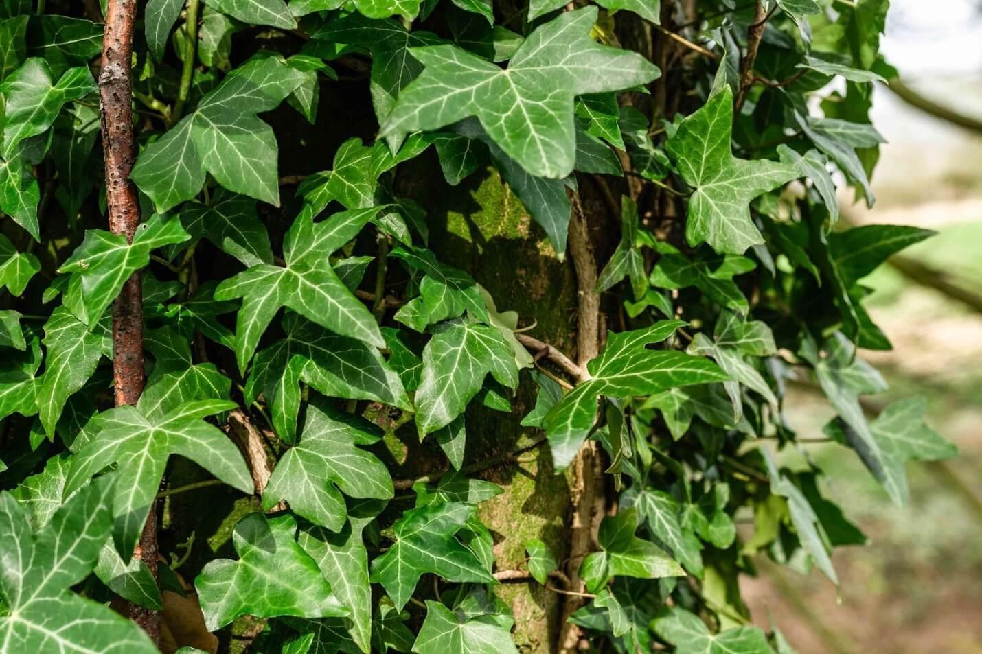 Russian ivy