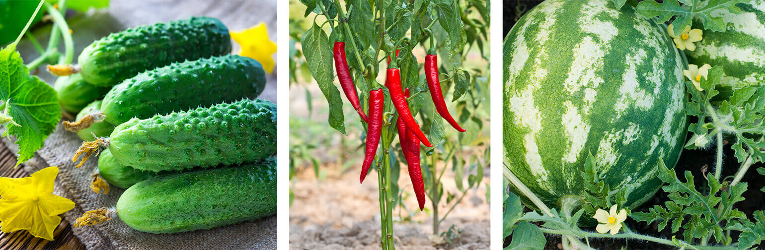 Selecting What Vegetables to Grow in Arizona