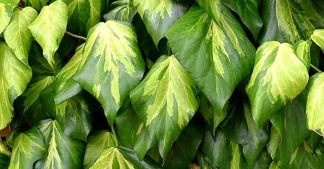 Sulphur Heart Ivy (Type of Persian Ivy)