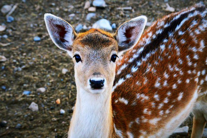 The Struggle Deers Go Through