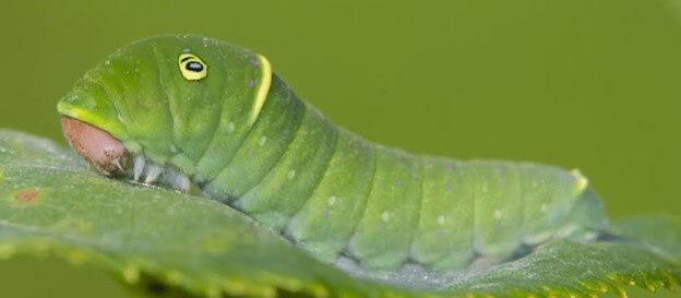 Tiger Swallowtail Butterfly Caterpillar