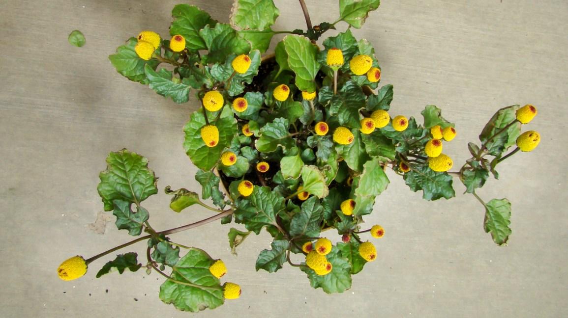 Toothache plant Paracress