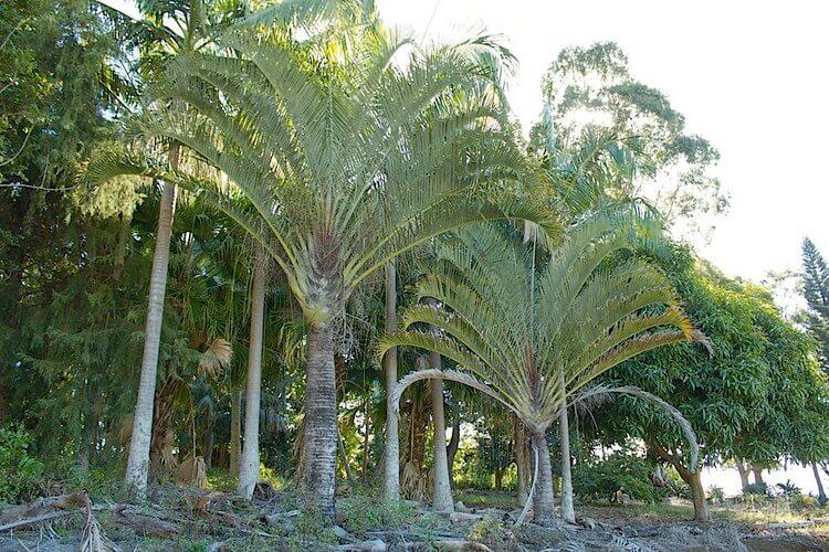 Triangle Palm Tree